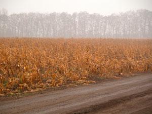 В ноябре удивительно красивый цввет у кукурузных полей