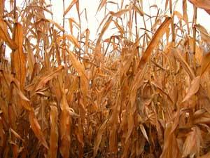 Кукурузные заросли