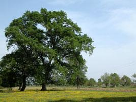 Огромный дуб и цветущее поле - отличное место для привала. Автор фото: Масяня