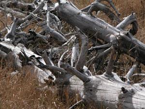 Высохшие коряги на плато.